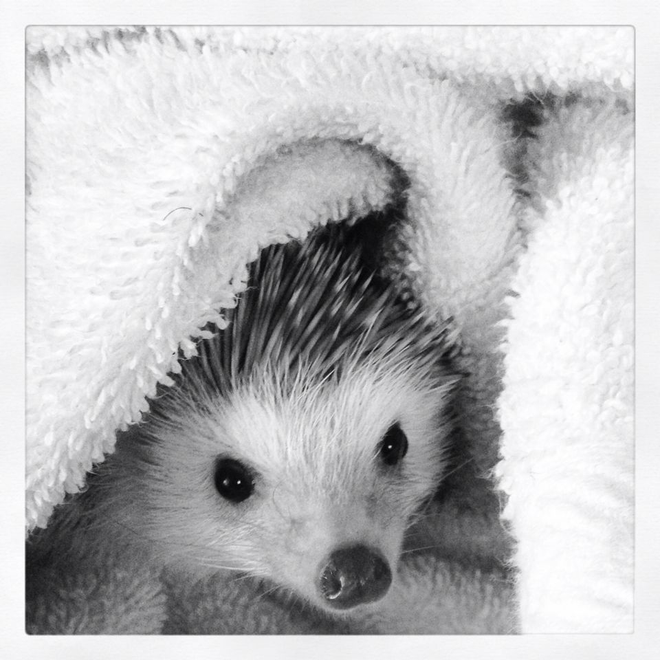 time to sleep hedgehogs pinterest igel natur tiere. Black Bedroom Furniture Sets. Home Design Ideas