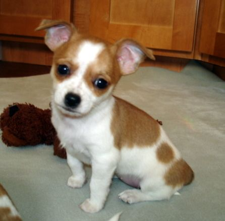 Purebred Chihuahua Puppy Puppy Kisses Chihuahua Puppies Cute