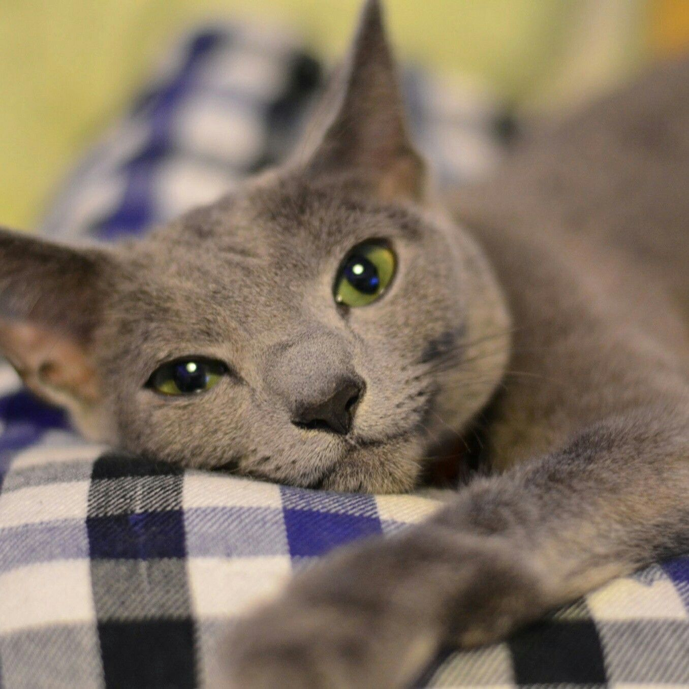 best russian blue cat personality images ideas most affectionate