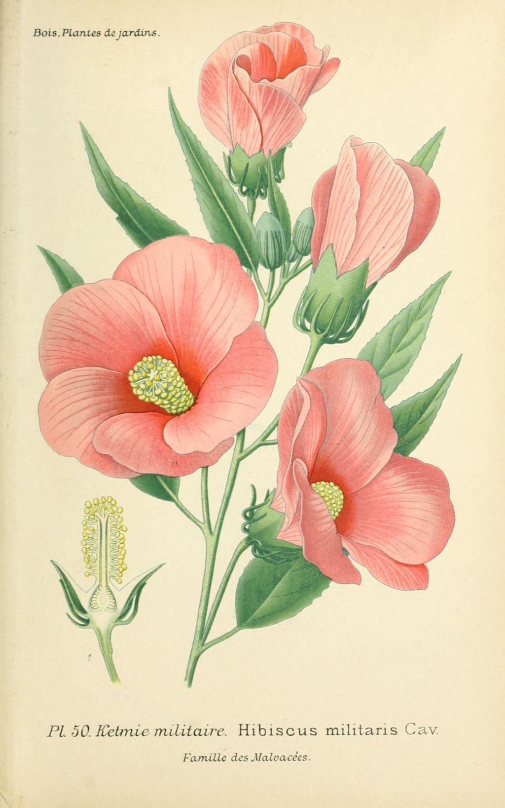 Img dessins plantes et fleurs jardins et appartements - Dessin d hibiscus ...