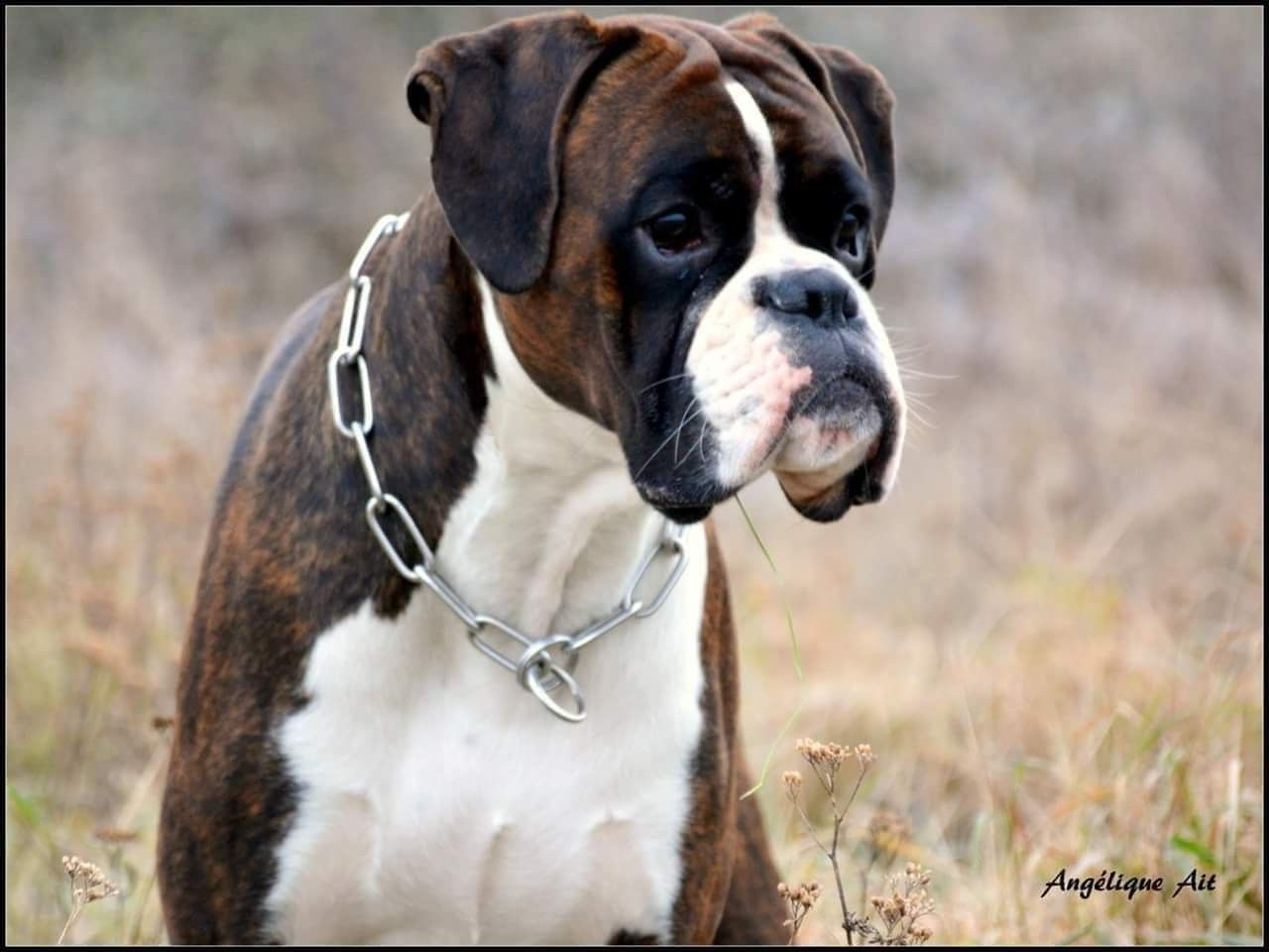 Pin by Raul Zapata on Dogs Dogs, Bully dog, Dogs, puppies