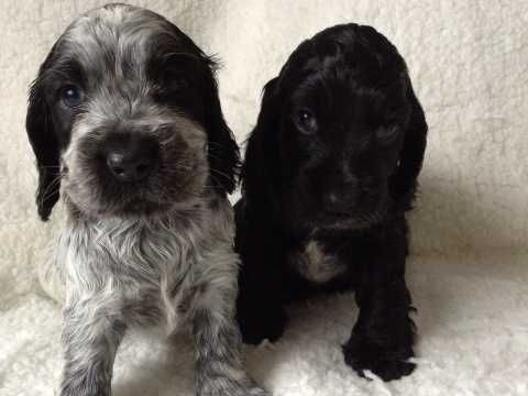 Beautiful Fully Health Tested Show Cocker Puppies Cocker Spaniel Dog Puppies Cocker Spaniel