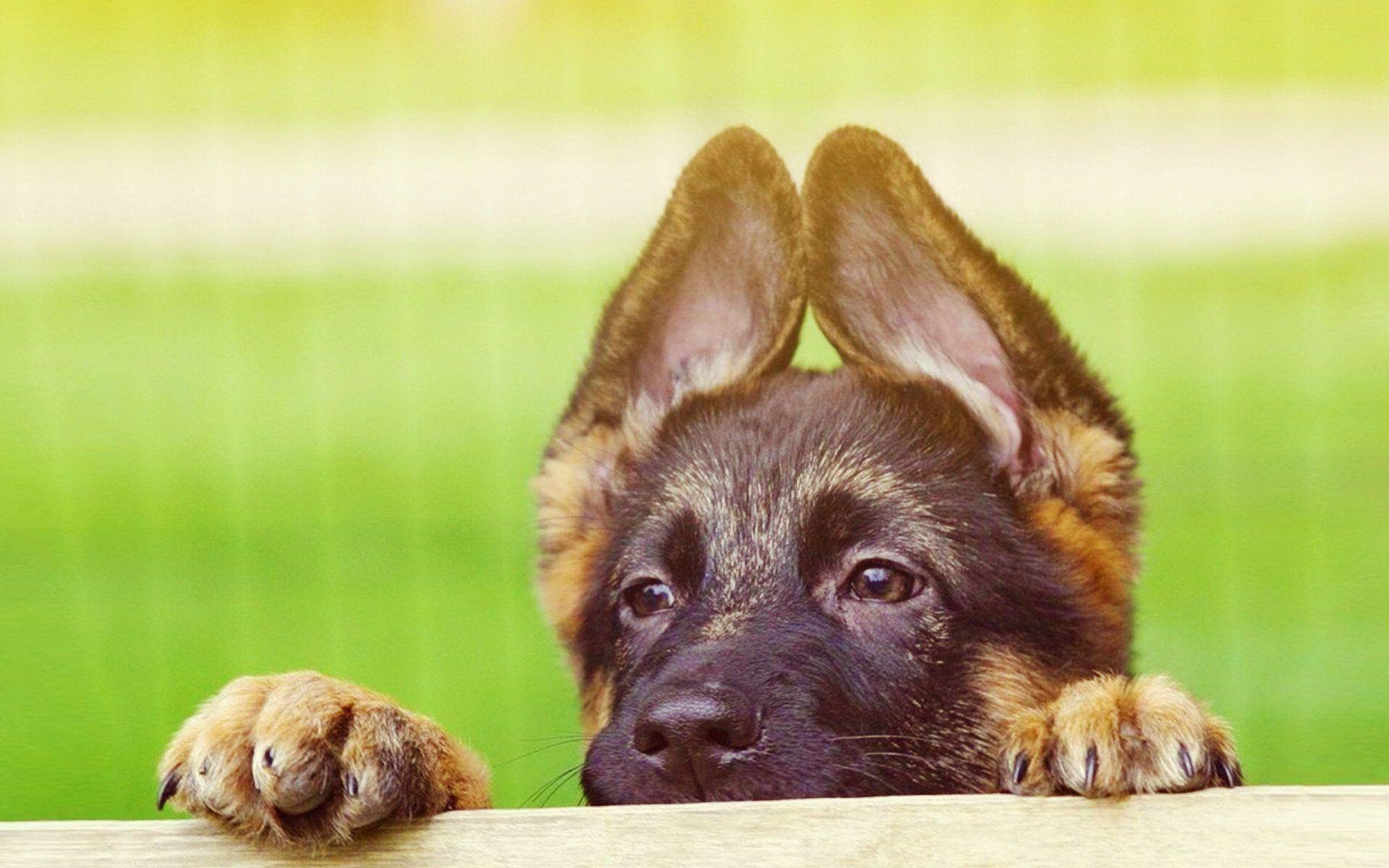 Pin En German Shepherd Puppies