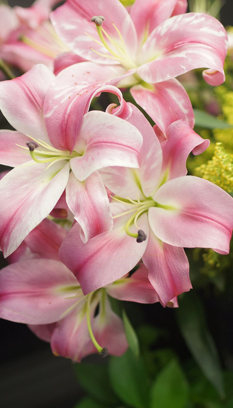 Pink lilies fabulous flowers pinterest pink lily flowers and pink lilies izmirmasajfo