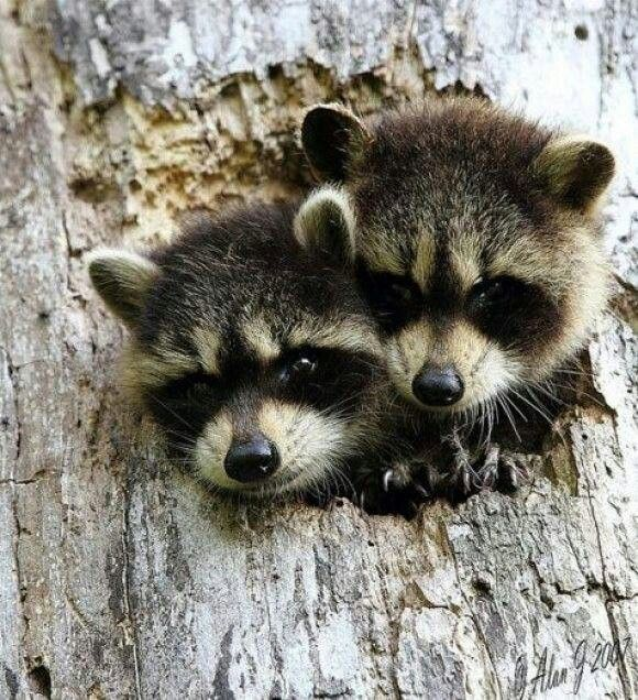 Baby raccoons Cute animals, Animals beautiful, Animals