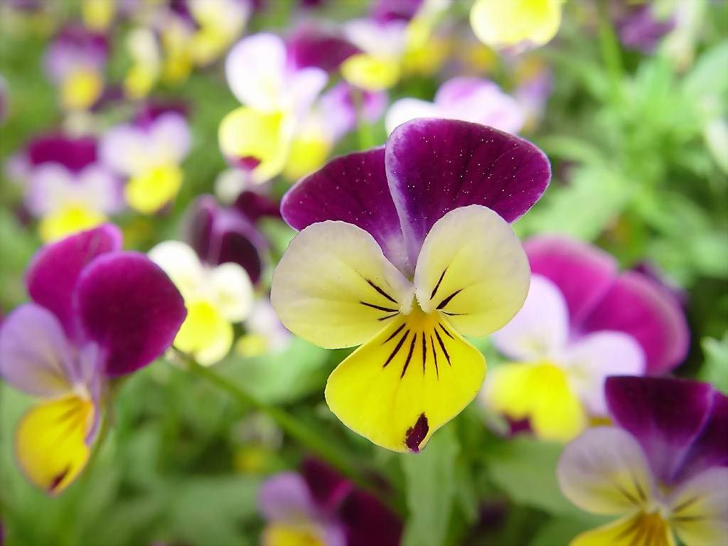 Small Pansies Or What I Was Always Told Were Johnny Jump Ups Pansies Flowers Yellow Flower Wallpaper Beautiful Flowers Wallpapers