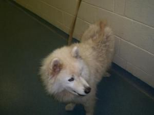 Fancy Is An Adoptable Samoyed Dog In West Palm Beach Fl
