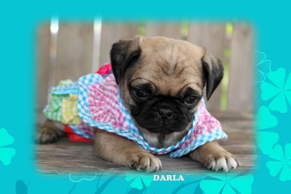 """Fairytailpuppies """"where pets are family too - DARLA"""