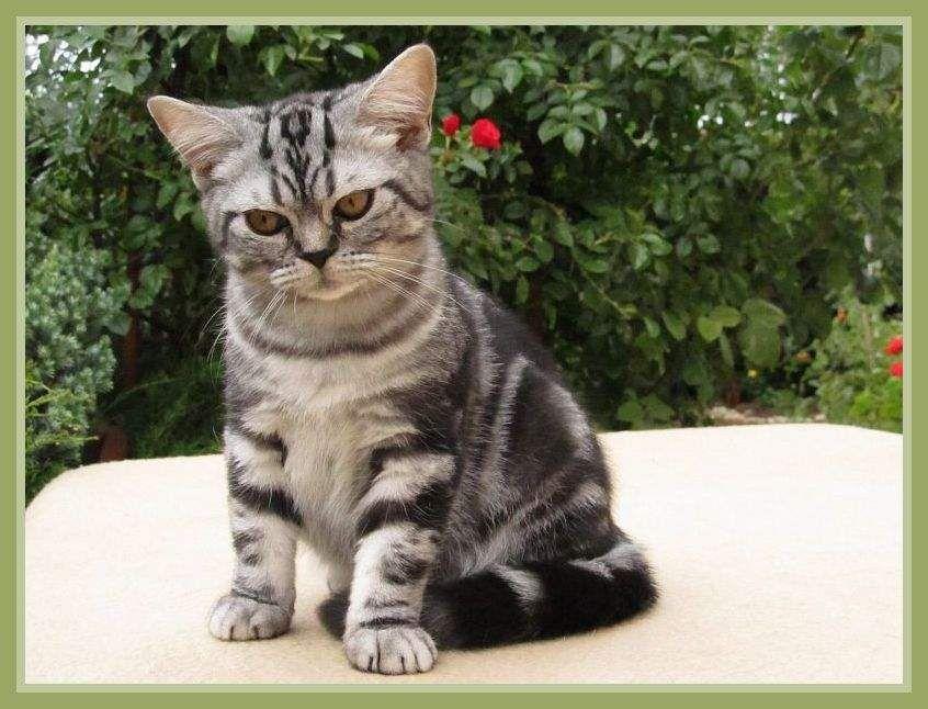 Puerto Rico Black Silver Classic Tabby British Shorthair Kitten British Shorthair Kittens Tabby British Shorthair