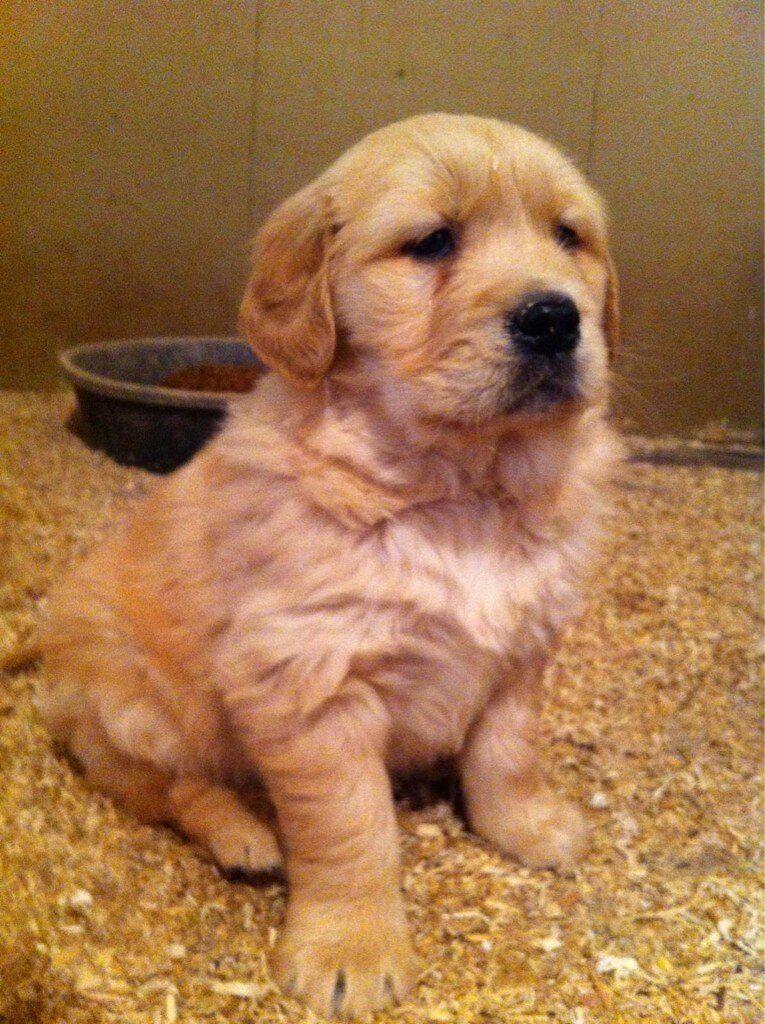 Amazing Golden Retriever Chubby Adorable Dog - 1456c60a304aa895c38e1ece959d5da1  Perfect Image Reference_3360  .jpg