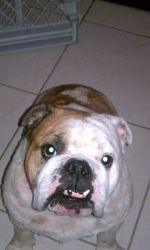 Weezy Is An Adoptable English Bulldog Dog In Coral Springs Fl