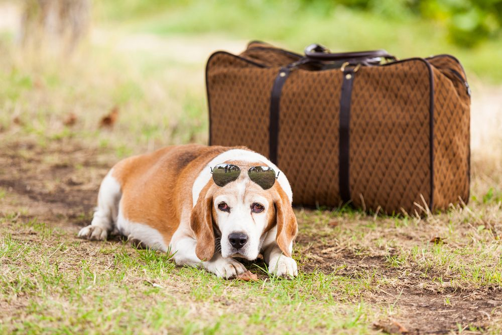 Doggy Travel Preparation Tips   Healthy Dog Blog   Pet
