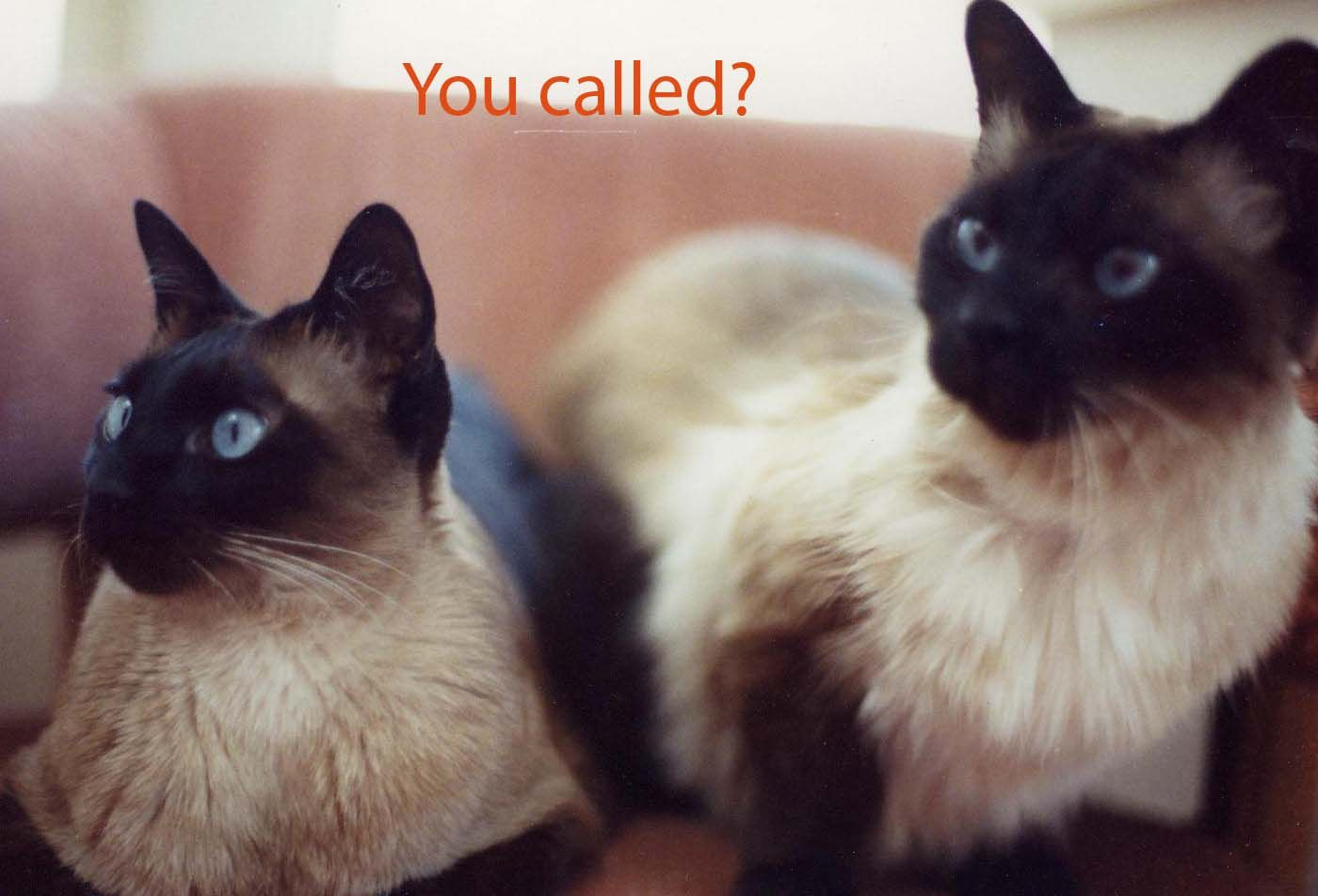 You Called Balinese Cat Cats And Kittens Siamese Cats