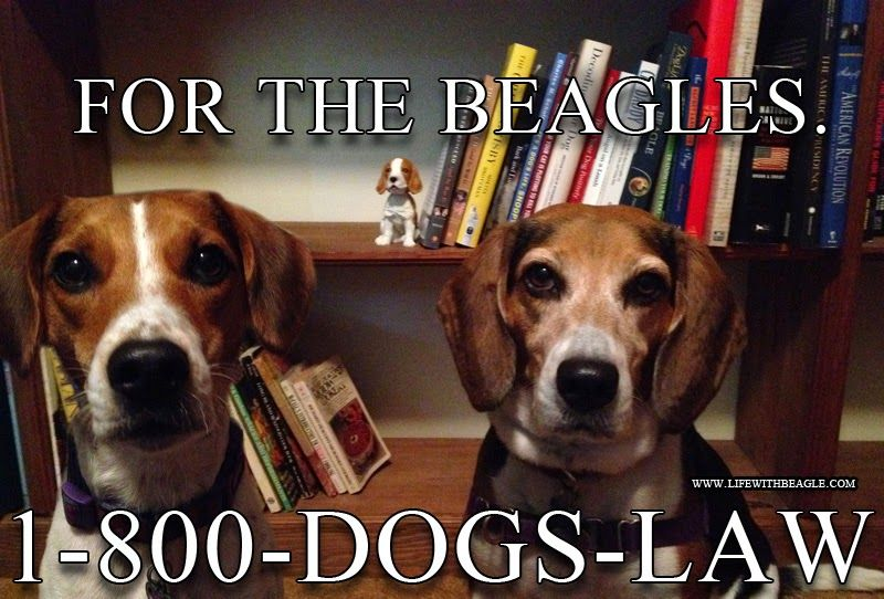 Life With Beagle Almostwordless Wednesday Legal Beagles Beagle