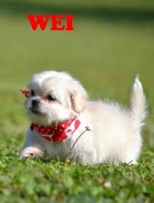 P J Kennels Shih Tzu Puppies For Sale Shih Tzu Puppy Shih Tzu Puppies For Sale
