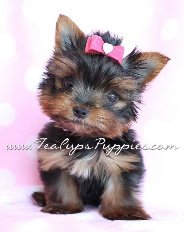 Adorable Teacup Yorkie My Next Yorkie Full Grown About 1 2