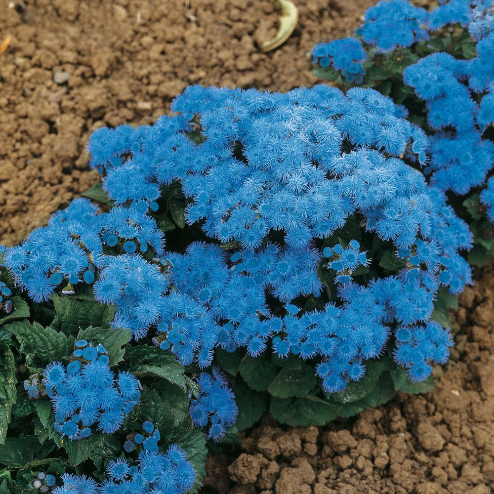 Ageratum Houstonianum Blue Danube F1 Hybrid Planting Flowers Hardy Plants Plants