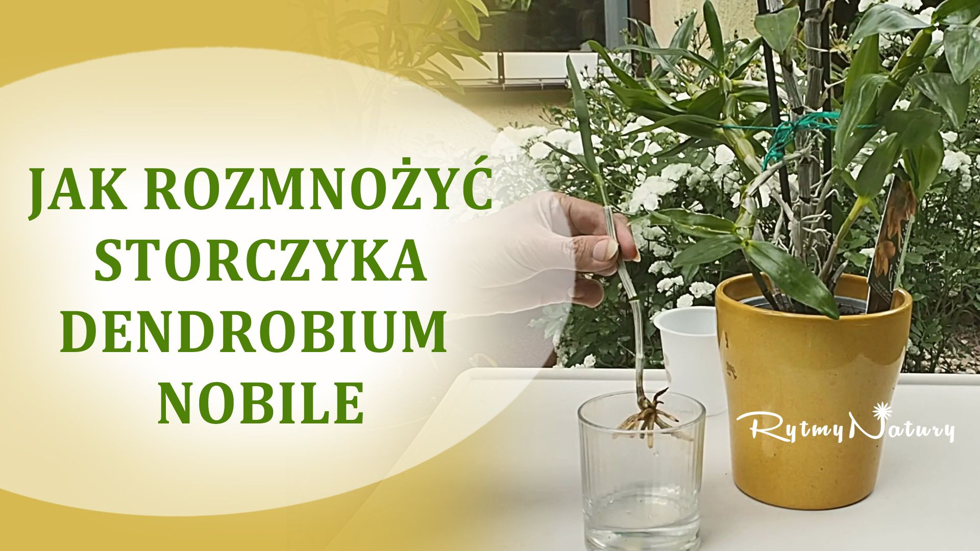 Jak Rozmnozyc Storczyka Dendrobium Nobile Dendrobium Nobile