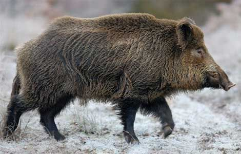 Animal: Wild Boar Location: Central Europe & Southern Asia
