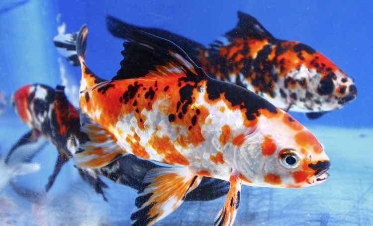 Imported Chinese Shubunkin For Sale Blue Ridge Koi Goldfish Goldfish Common Goldfish Shubunkin Goldfish