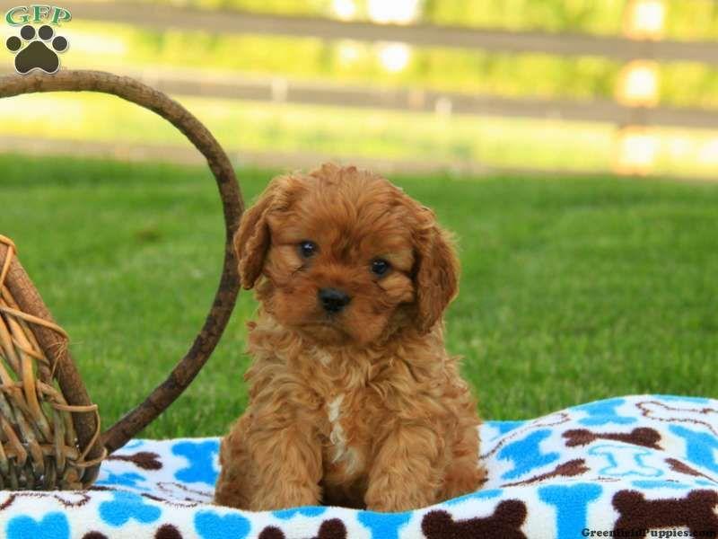 Cavapoo Puppies For Sale Cavapoo Puppies For Sale Cavapoo