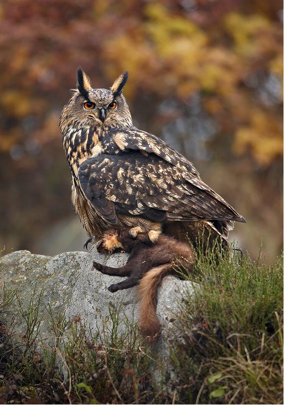 File Bubo Bubo 1 Martin Mecnarowski Jpg Owl Eurasian Eagle Owl Owl Eyes