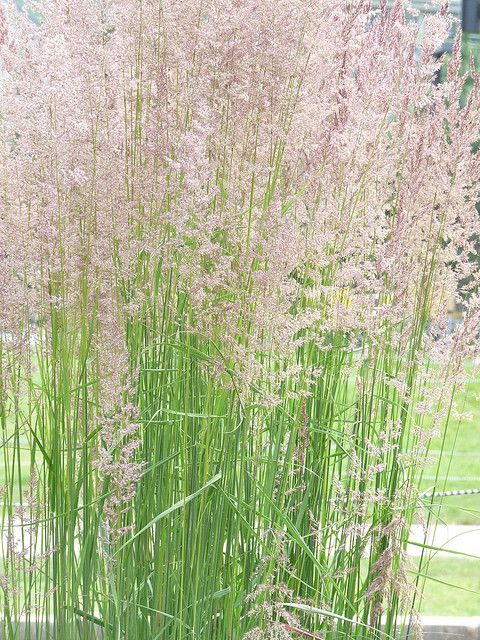 Calamagrostis 39 Karl Forester 39 A Fabulous Ornamental Grass