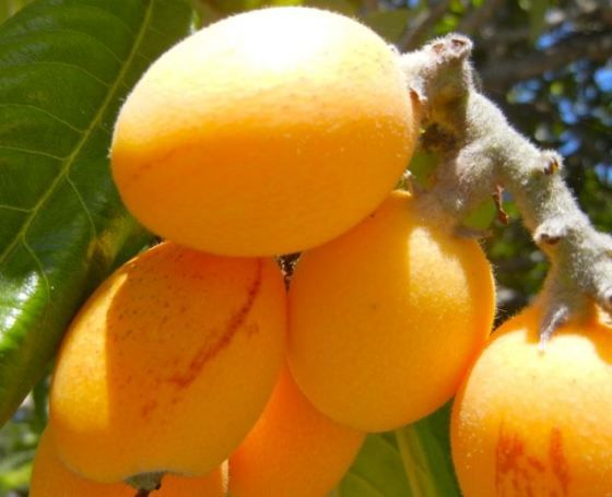 Loquats--We grew loquats in TX. They make the best JAM!! I wish I lived somewhere they grow...