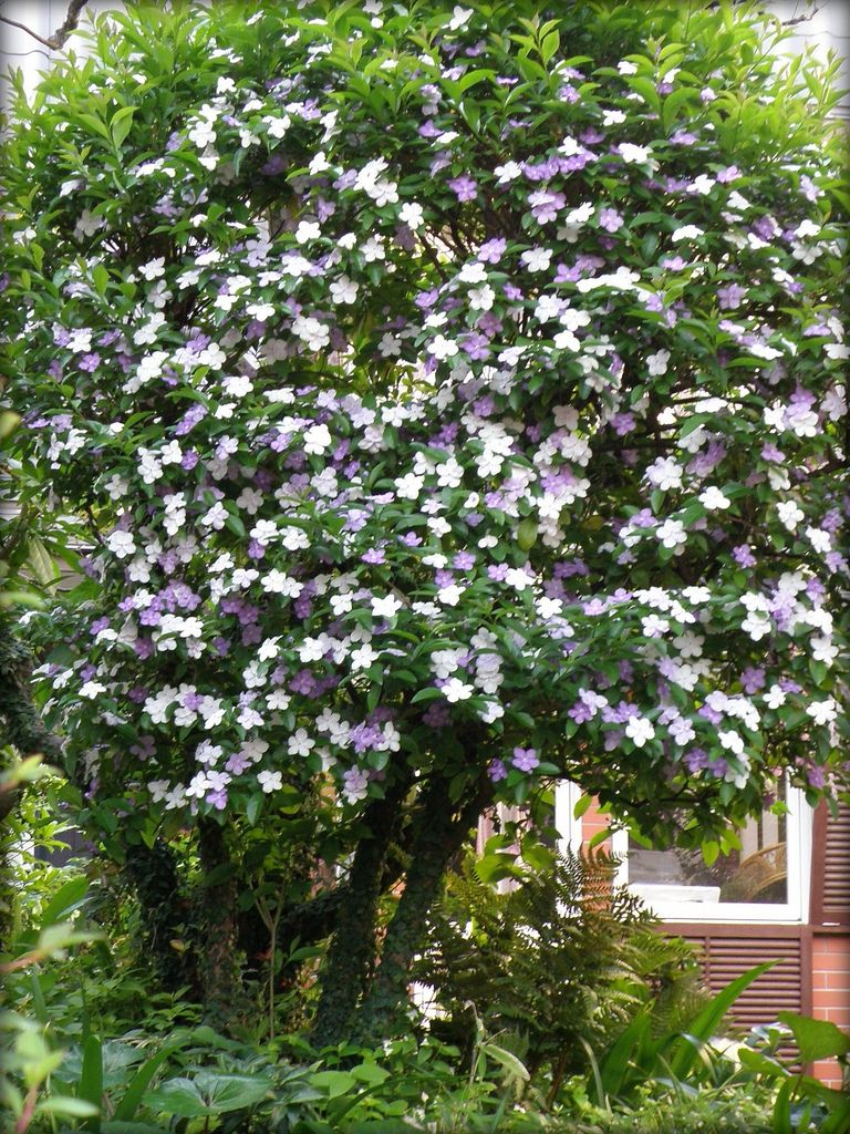 All sizes white and purple flowering tree brunfelsia flickr all sizes white and purple flowering tree brunfelsia flickr photo sharing mightylinksfo