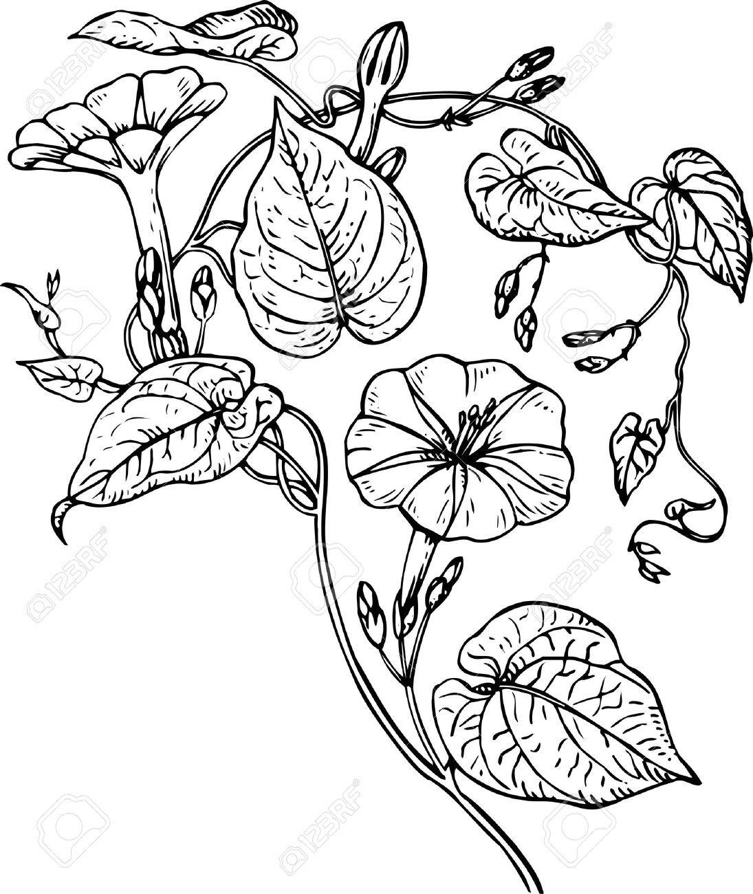 morning glory vine drawing Google