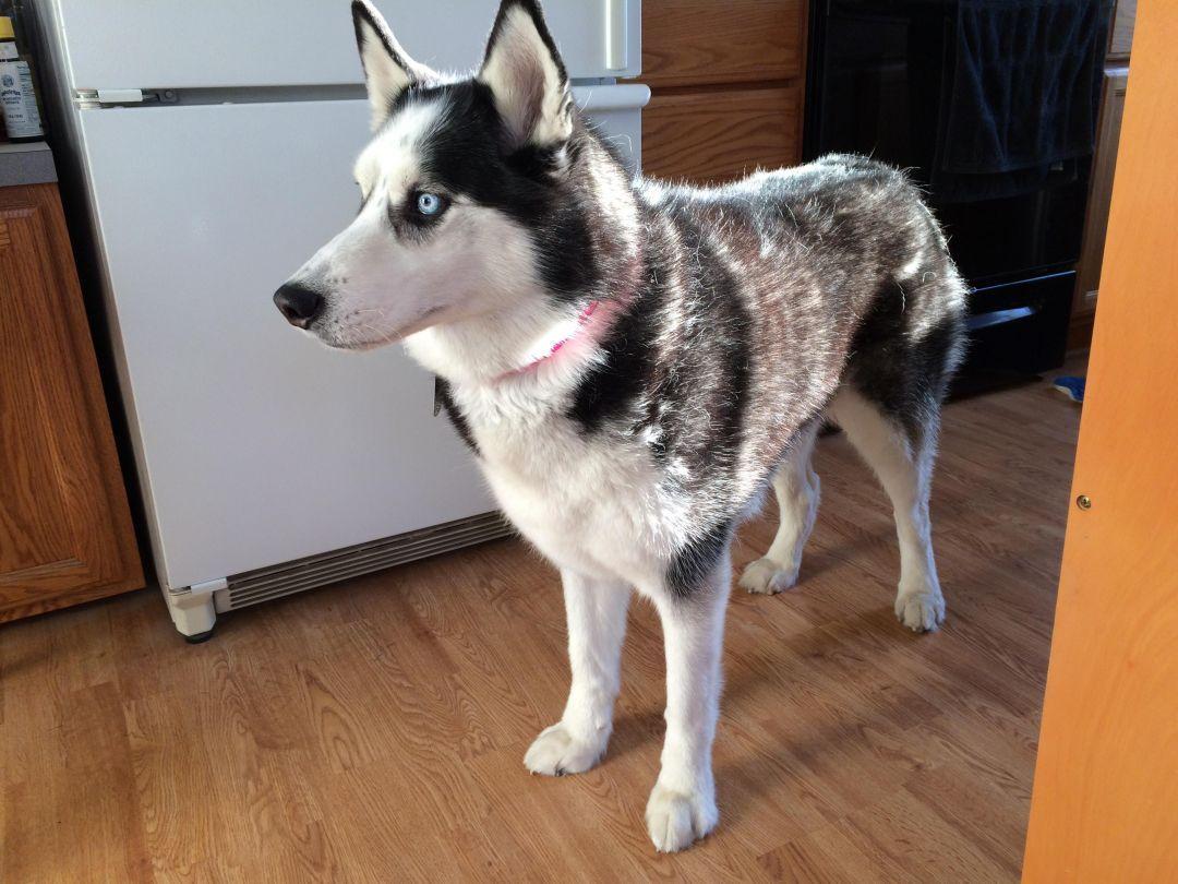 Adopt Sheba On Petfinder Help Homeless Pets Dog Adoption Siberian Husky Dog