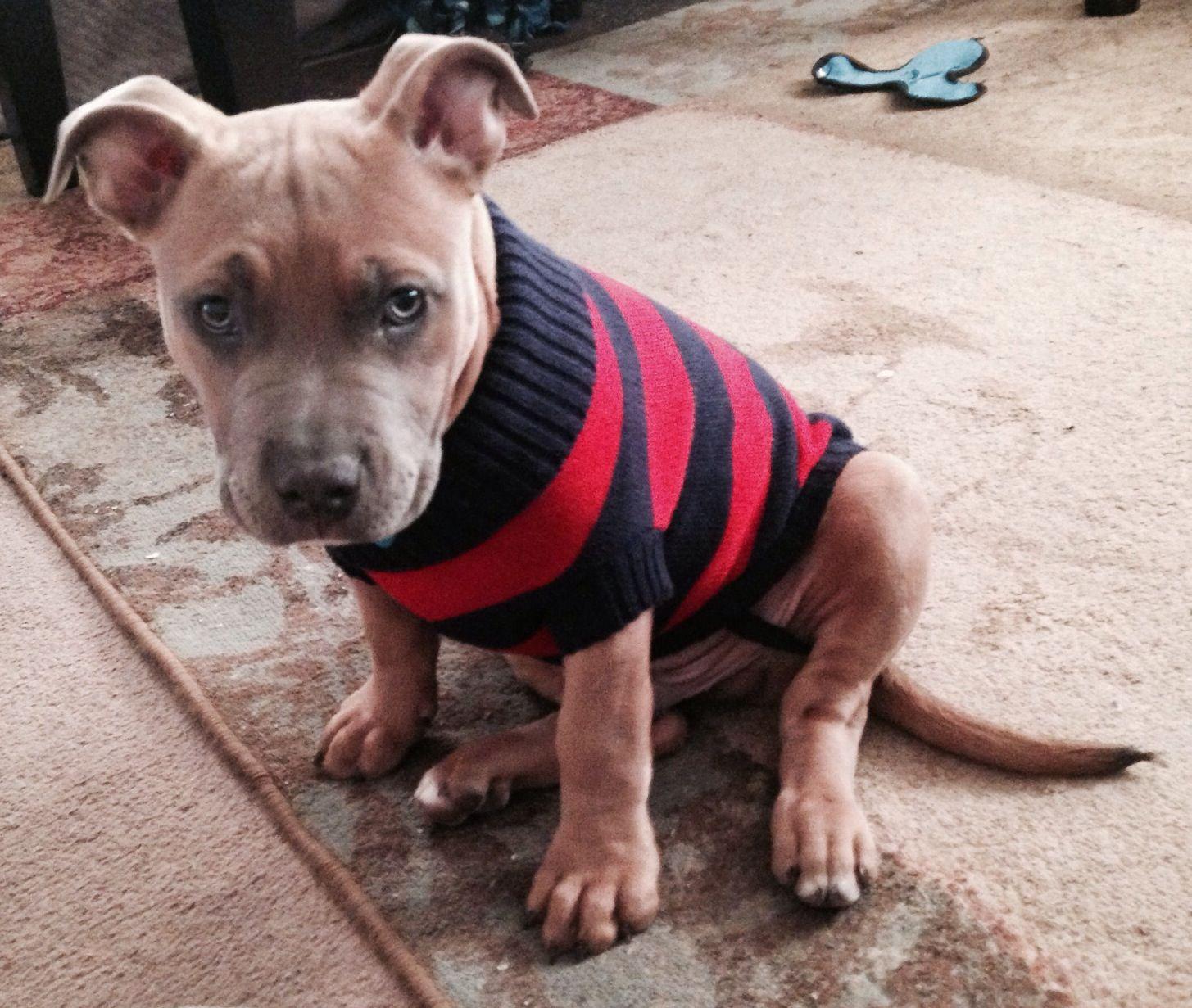 Thorn Pitbull French Bulldog Mix Pitbulls Amp Bulldogs