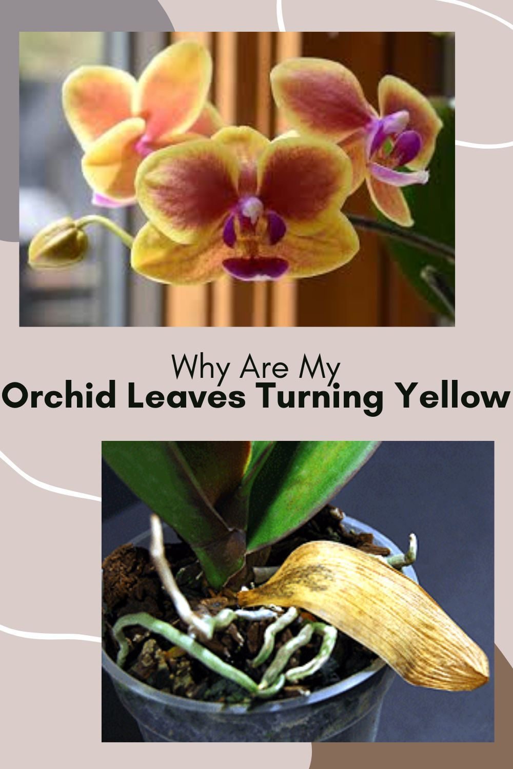 Orchid Leaves Turning Yellow Causes And Solutions Indoor Garden Nook In 2020 Orchid Leaves Turning Yellow Orchid Leaves Plant Leaves Turning Yellow