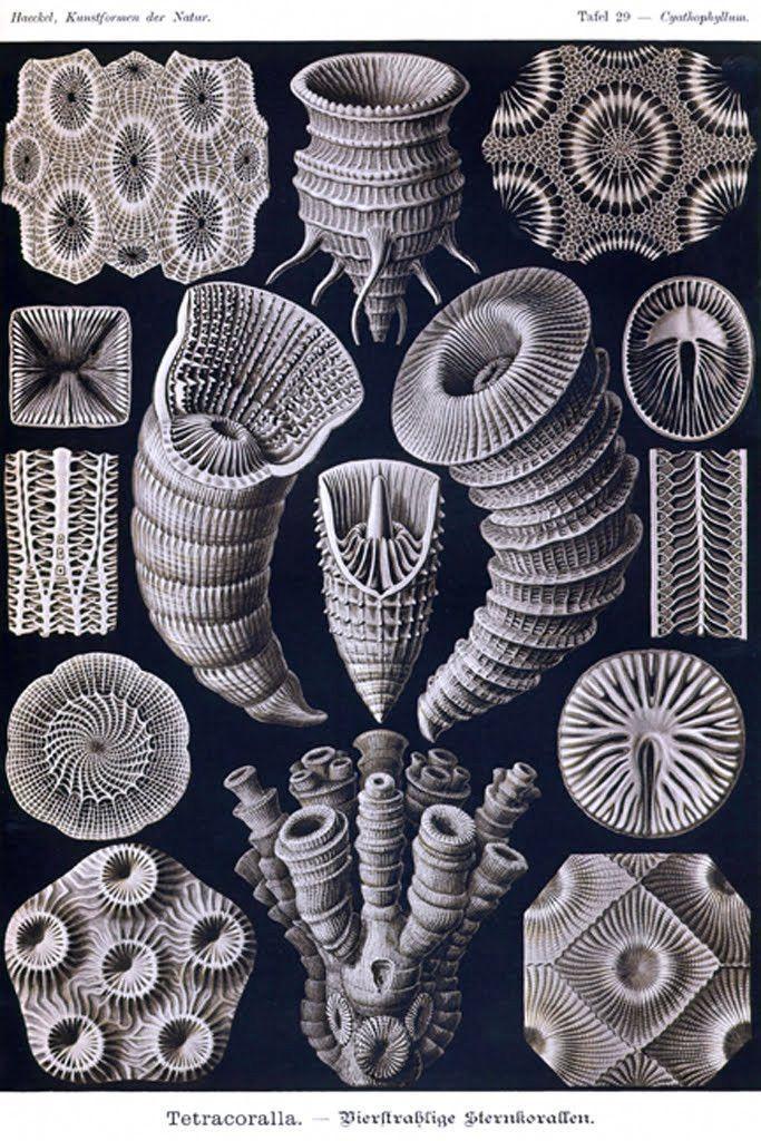 Tetracoralla, by Ernst Haeckel