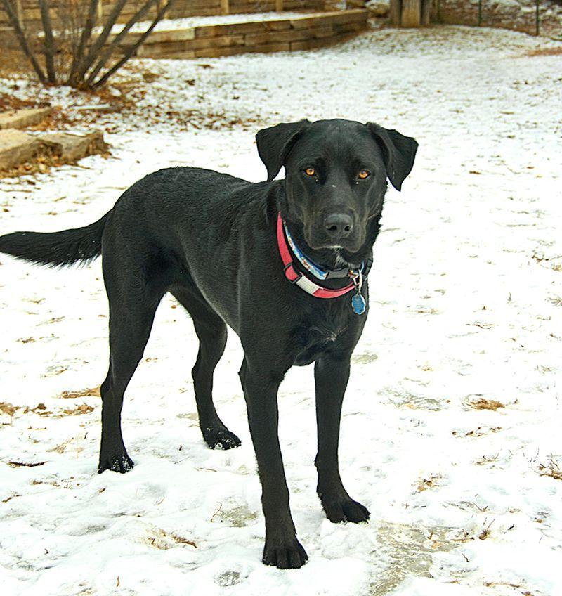 Adopt Melody On No Kill Animal Shelter Adoption Black Labs