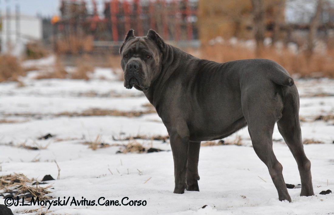 Brinks Di Avitus Cane Corso Cane Corso Cane Black Pitbull