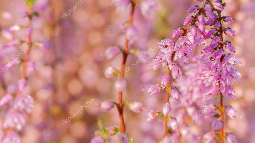 Beautiful Purple Heath Flowers Sunshine Stock Photo Sponsored Heath Purple Beautiful Flowers Ad In 2020