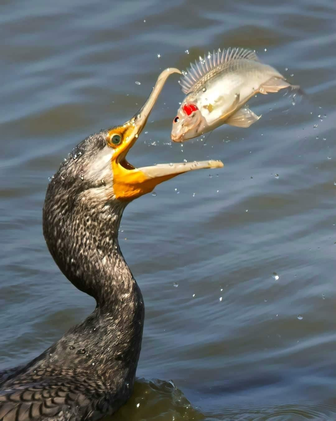 Cormorants are very skillful hunters. They propel underwater with their feet and can go as deep as 15-30mtrs underwater in search of fish.    #cormorants #fish #hunters #natgeoyourshot #nature #wilderness #wild #wildlife #bird #birds #amazing   📷@brush_str0kes