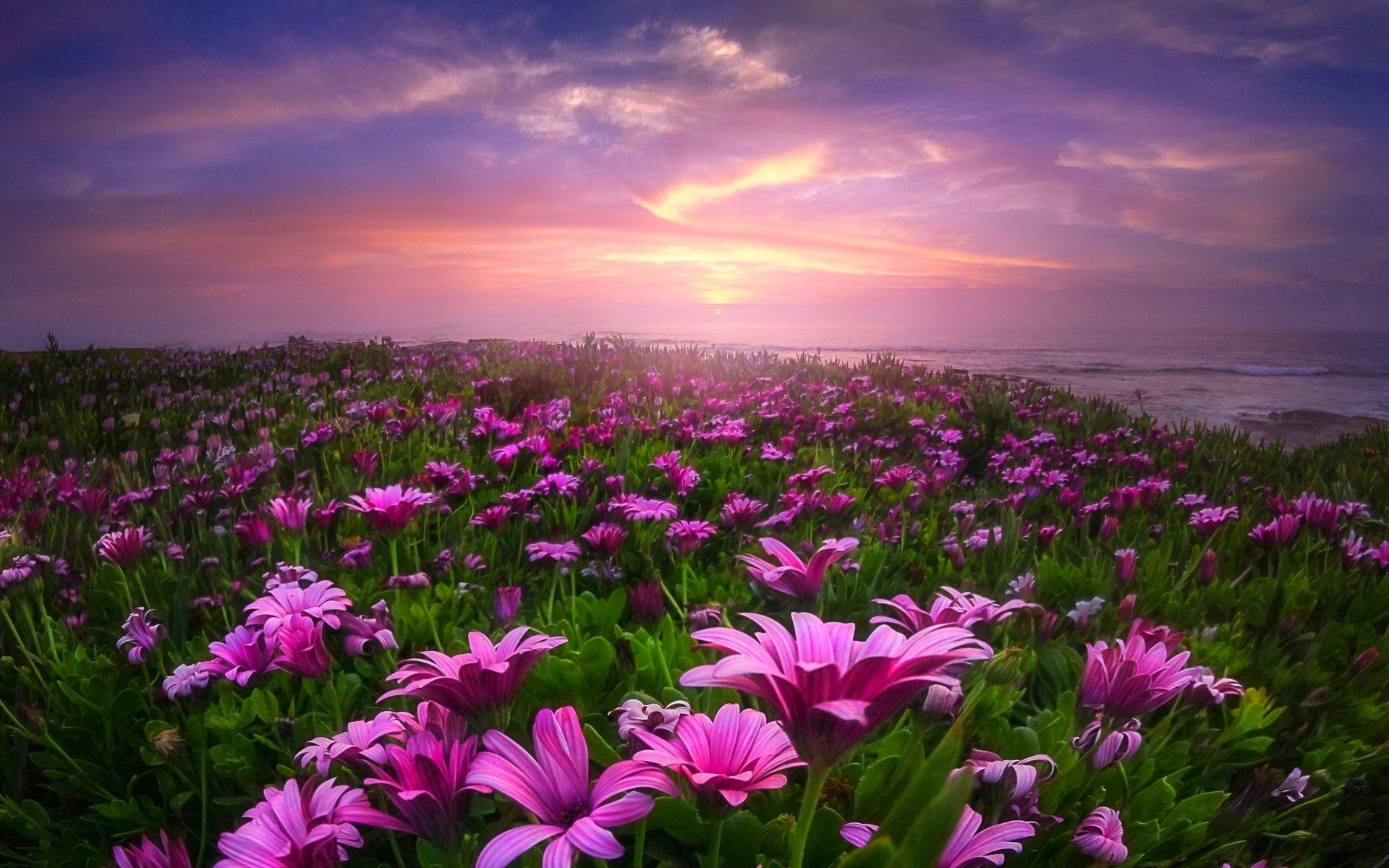Field Of Daisies Hd Wallpaper For Desktop Of Flower Fields Flower Field Spring Flowers Background Beautiful Nature