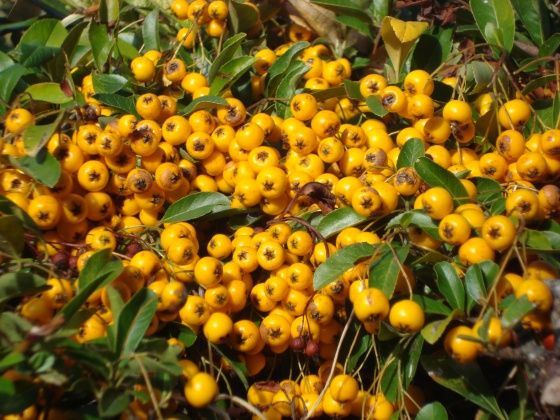 Pyracantha Soleil D Or Bog Garden Shrubs Nature