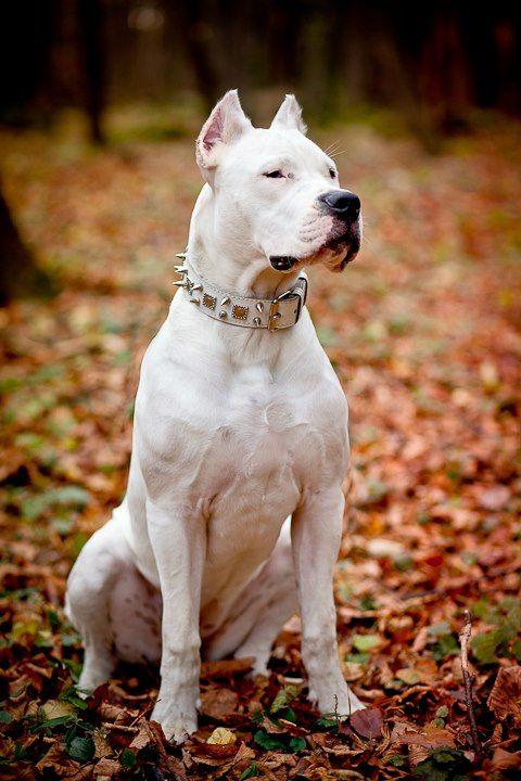 Https Www Facebook Com Michal Slepanek Argentinian Dog Dog