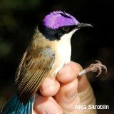 Male purple-crowned fairy-wren.  Aren't they beautiful!