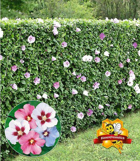 hibiskus hecke 10 pflanzen b ume str ucher hibiskus hecke garten und garten ideen. Black Bedroom Furniture Sets. Home Design Ideas