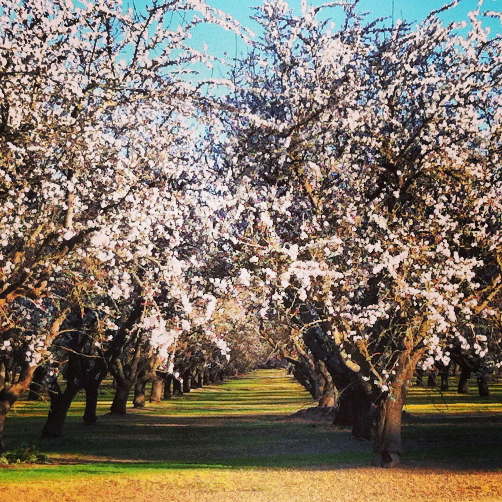 Almond blossom weekend