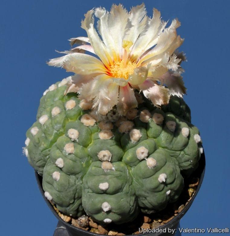 Astrophytum asterias  nudum cv kikko  100 SEEDS RARE //cacti//succulent.