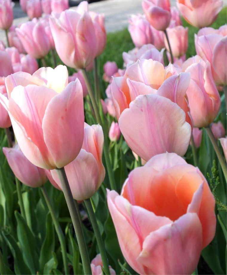 Tulip Apricot Beauty Triumph Tulips Tulips Flower Bulb Index Tulips Flowers Beautiful Flowers Bulb Flowers