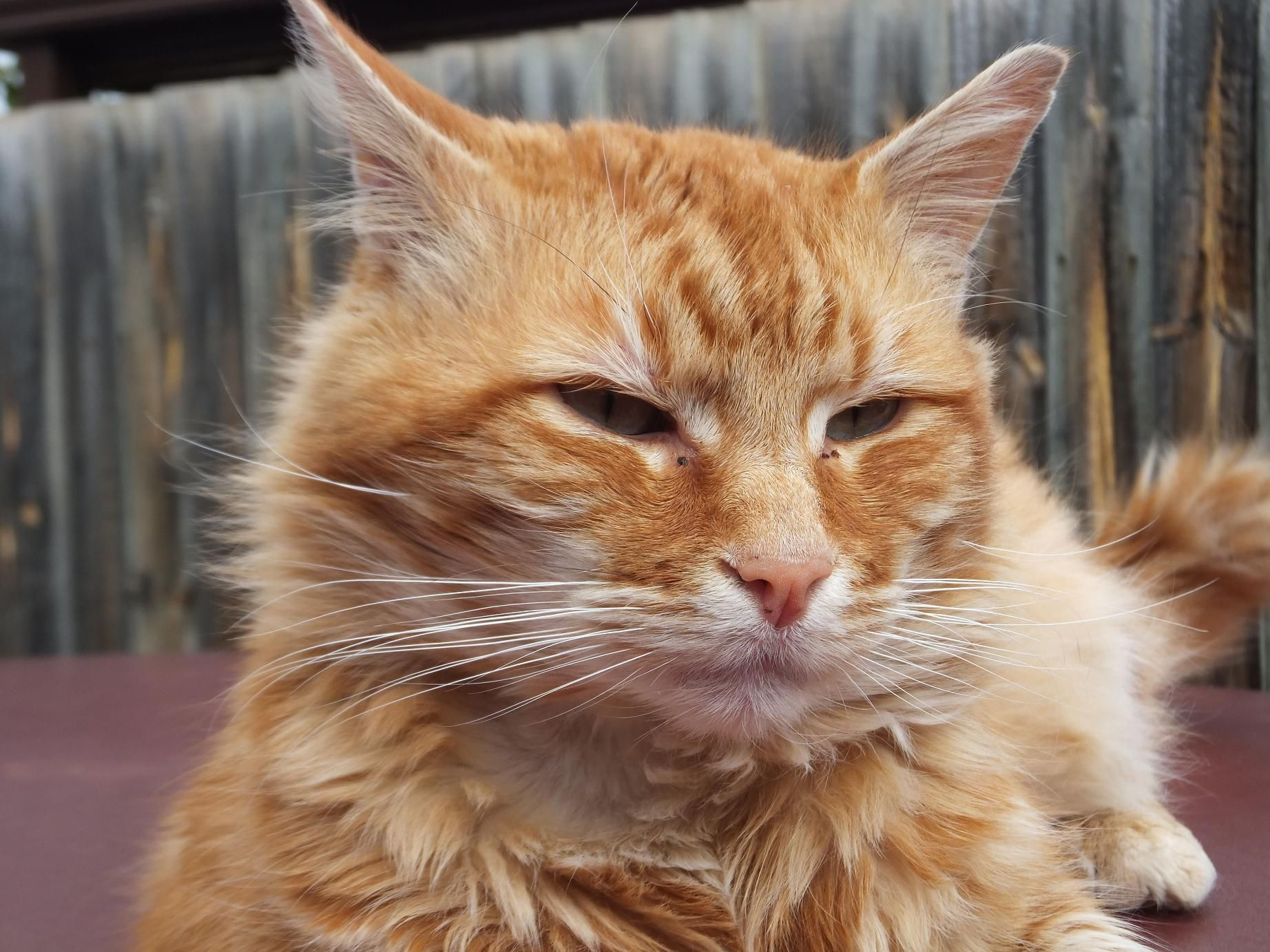 Garfield S Face Close Up Orange Cats Cats Animals
