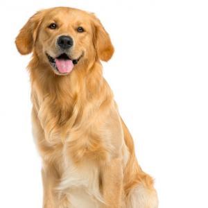 Todas Las Razas De Perros Nombres Fotos Y Características Perros Golden Retriever Razas De Perros Nombres Para Perros Machos