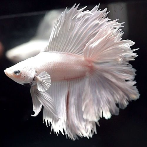 Betta Fish Philippines