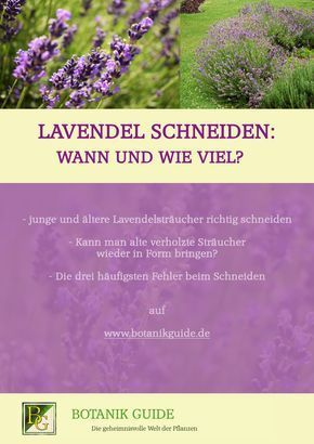 lavendel schneiden wann und wie viel lifestyle pinterest lavendel schneiden lavendel. Black Bedroom Furniture Sets. Home Design Ideas